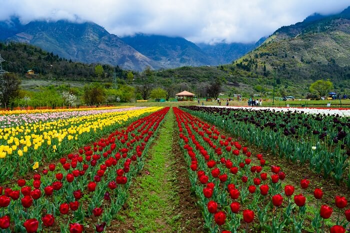 12 lakh Tulip bulbs planted in Asia's largest Tulip garden this year - Countryside Kashmir